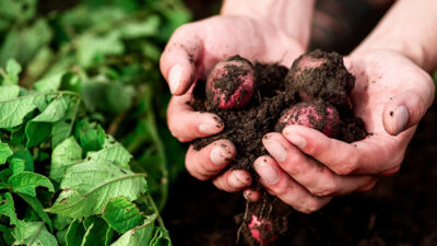 soil and vegetable image from The Conversation, www.shutterstock.com, CC BY